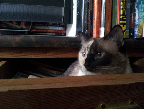 Brown tabby and white cat looking out of a wooden drawer she is lying in. Behind her ears are a row of tall books.